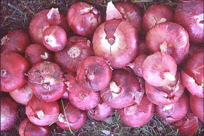 Image of Crimson Onions
